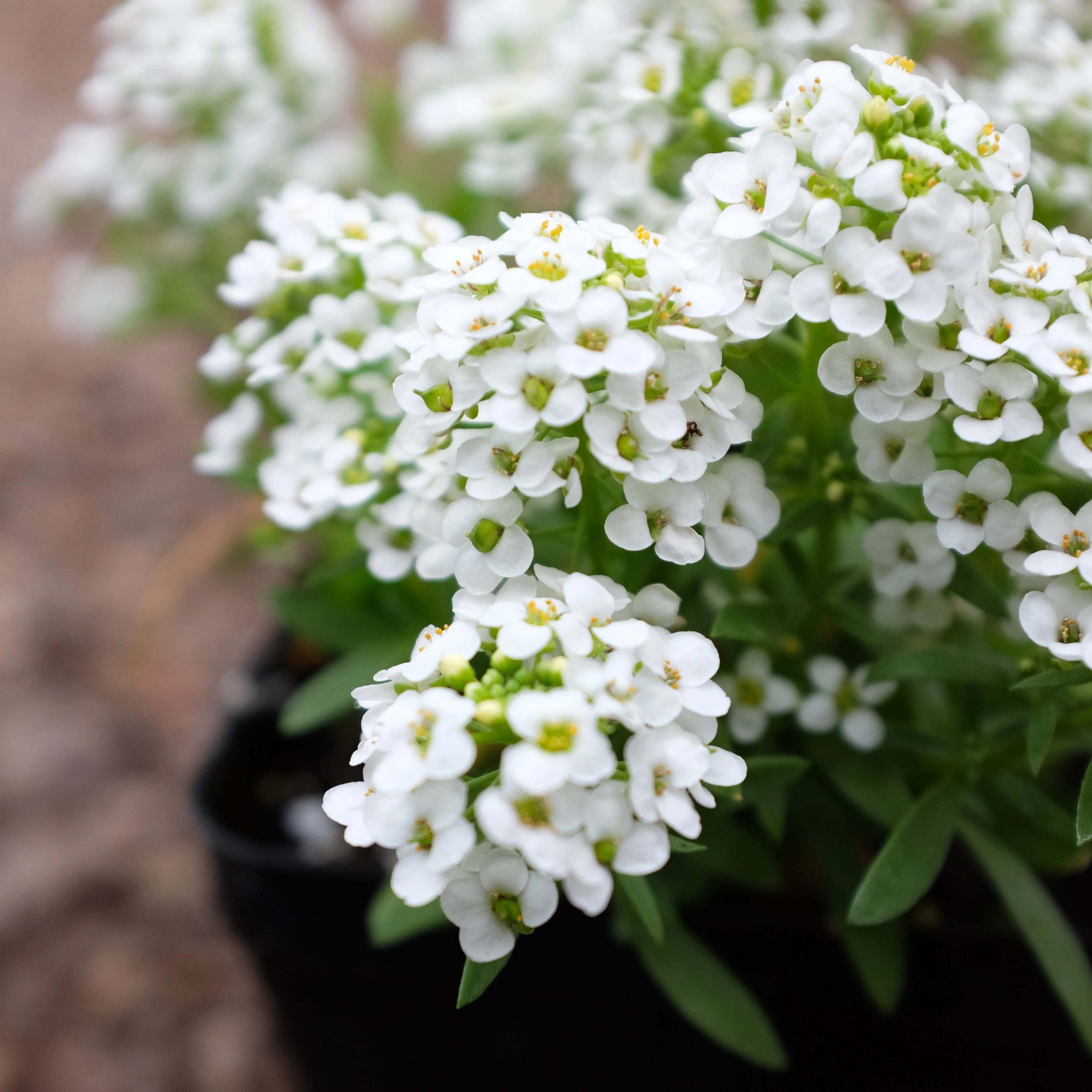 Tips for Growing this Bloom-filled Annual Sweet Alyssum in Your Garden