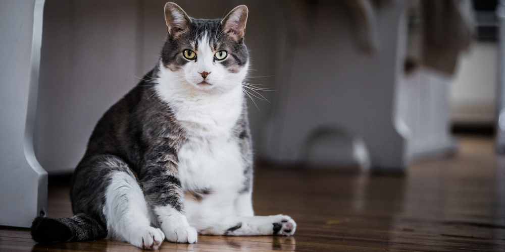 What are Madical Causes for Weight Gains in Cats?