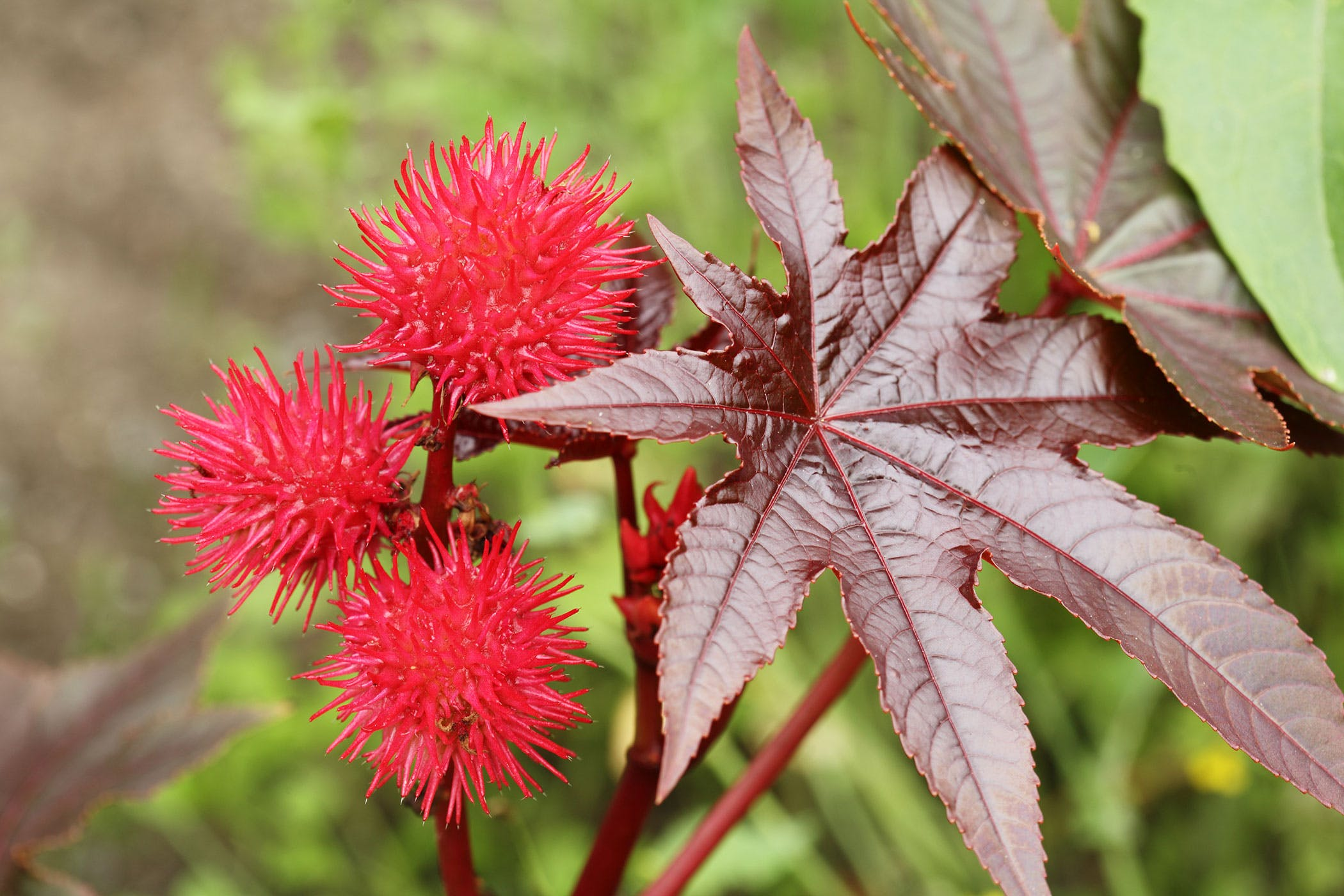 Is Castor Bean Plant Poisonous to Cats and Dogs?