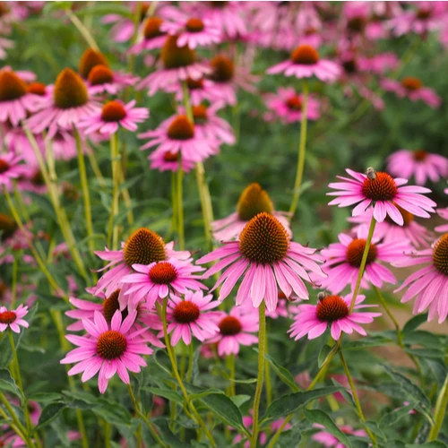 Native Perennials Featuring Toughness & Hardiness for Midwest